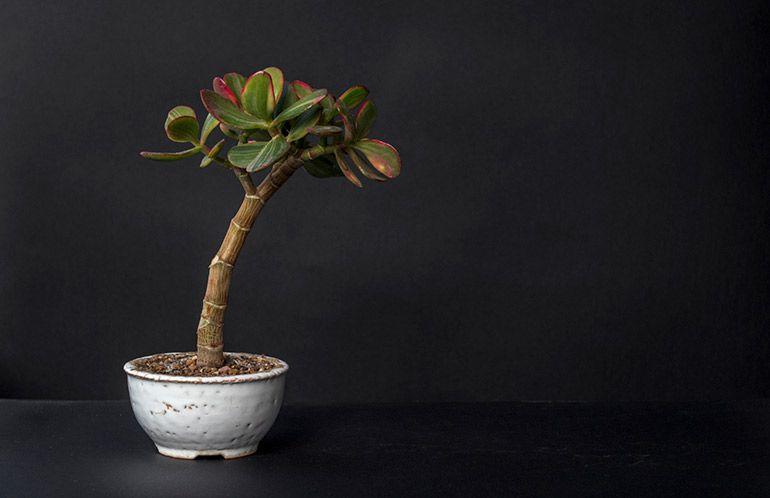 Крассула Сансет. Грошове дерево Бонсай. Фото Товстолист