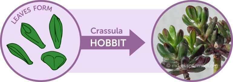 Jade Tree Crassula ovata Hobbit