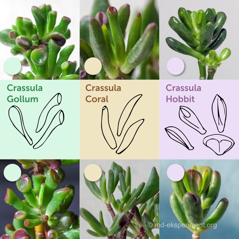 How can we distinguish the popular sorts of Crassules: Crassula Hobbit, Crassula Coral, Crassula Gollum by the shape of the leaves