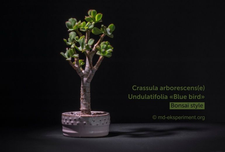 Crassula arborescens(e) Undulatifolia «Blue bird»
