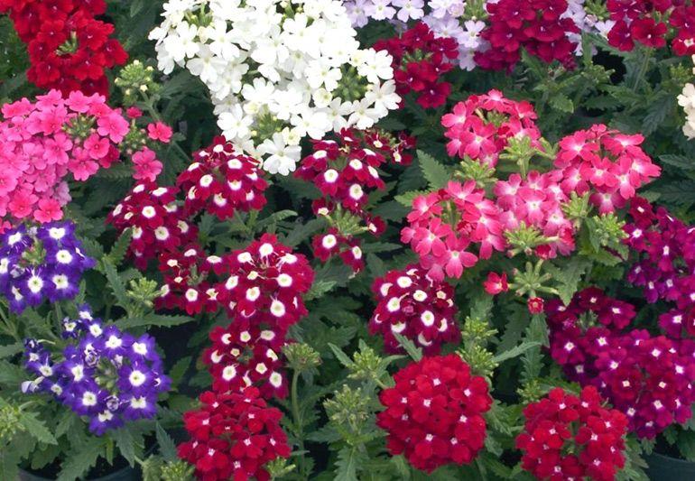 Высадка первых цветов в саду