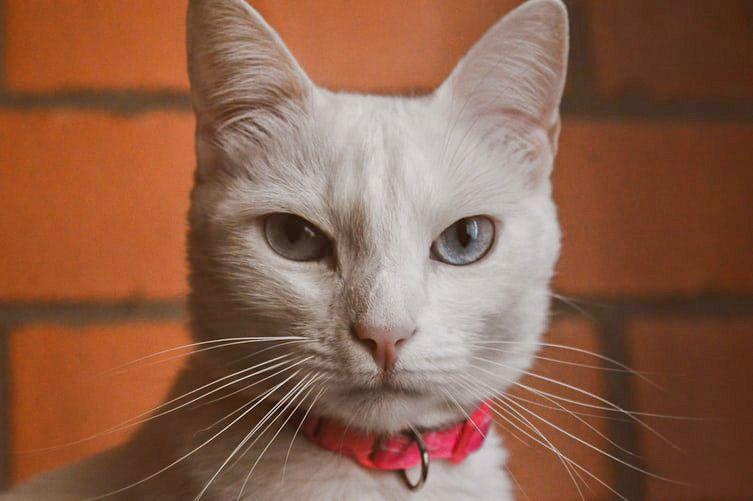 ошейник от блох для кошки