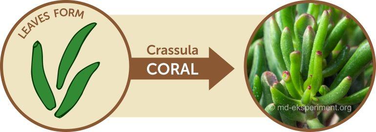 Jade plant Crassula ovata Coral