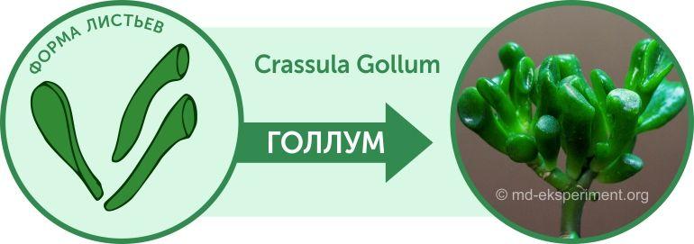 Денежное дерево Крассула Голлум Crassula Gollum Какие листья Как отличить от Коралла