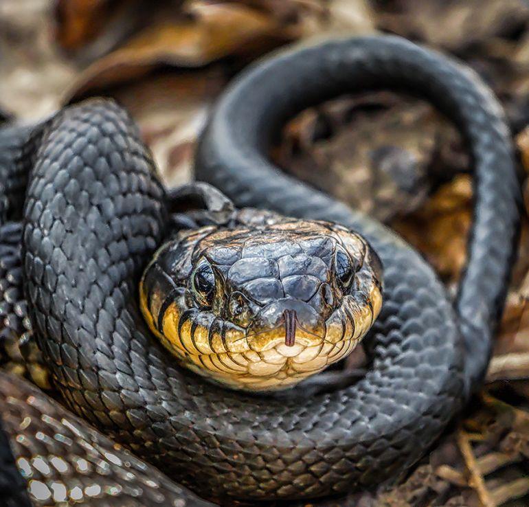 змея, кобра