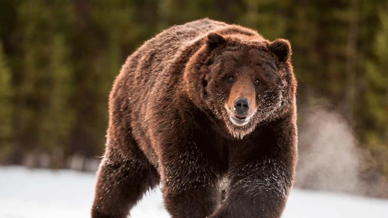 Почему медведи сейчас так рано просыпаются от спячки