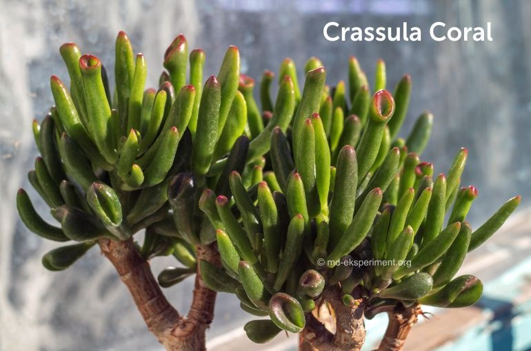 Денежное дерево бонсай Крассула Коралл Crassula Coral толстянка фото