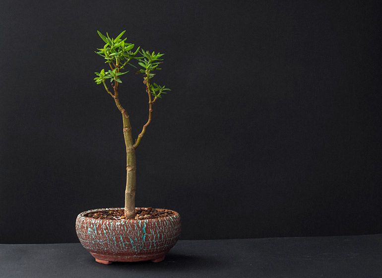 Грощове дерево Crassula Sarcocaulis Фото