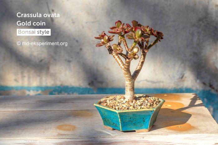 Крассула Голд Коін. Грошове дерево Бонсай. Фото Товстолист