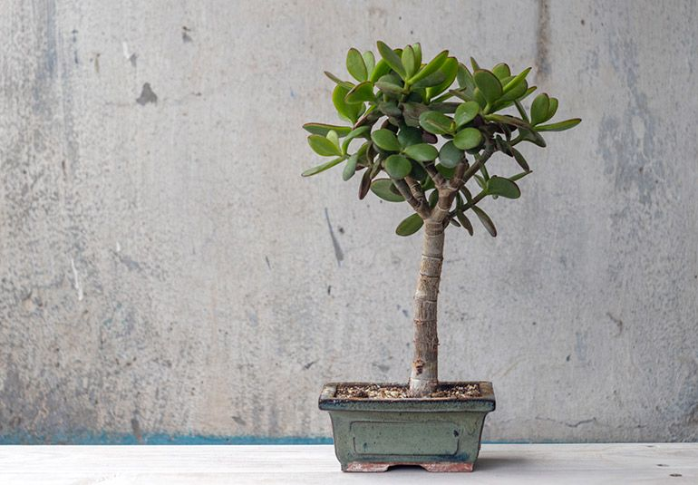 Крассула овата Грошове дерево Бонсай Фото Товстолист. Crassula ovata