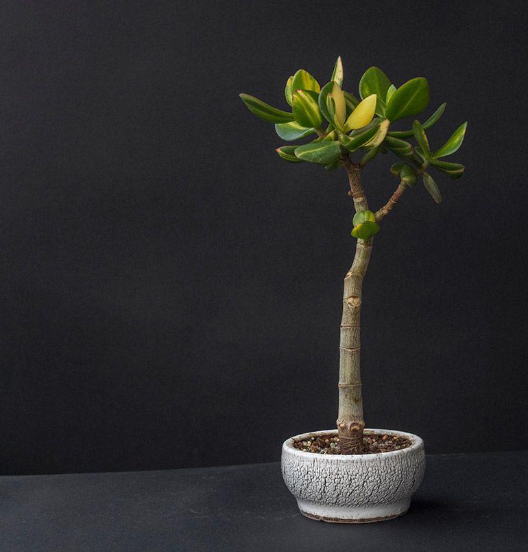 Крассула Солана Грошове дерево Бонсай Фото Толстянка товстолист