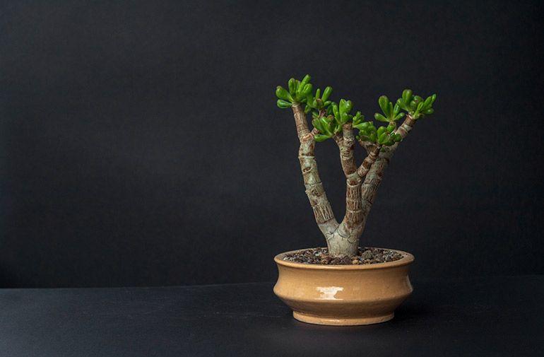 Крассула Корал Грошове дерево Бонсай Фото Товстолист