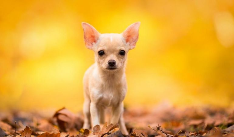 Чихуахуа. Породы собак