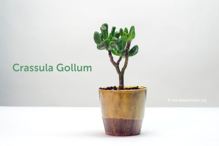 Money tree in bonsai style Crassula Gollum