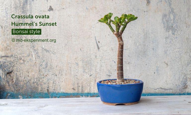 Крассула Сансет. Грошове дерево в стилі Бонсай. Фото Товстолист. Crassula ovata Hummel's Sunset