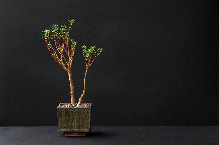 Грощове дерево Crassula Sarcocaulis
