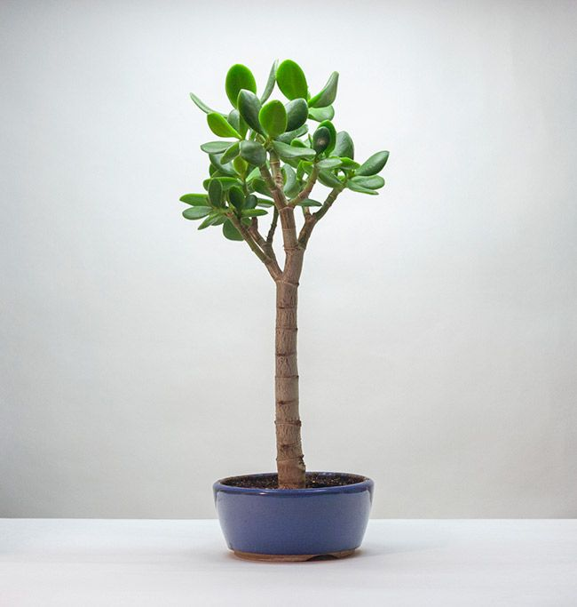 Крассула Сукулент Обліква Грошове дерево Товстолист Бонсай Фото