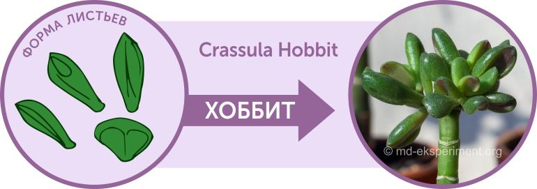 Денежное дерево Крассула Хоббит Crassula Hobbit Форма листьев Как отличить от Голлума