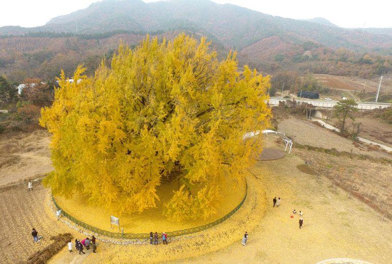 Секрет долголетия дерева гинкго