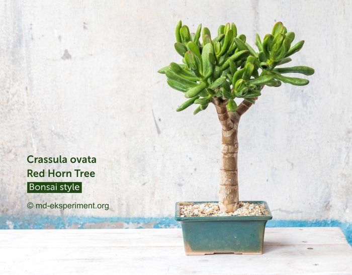 Крассула Ред Хорн три. Crassula ovata Red Horn Tree. Фото
