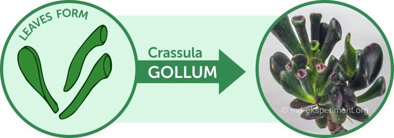 Money plant Crassula ovata Gollum