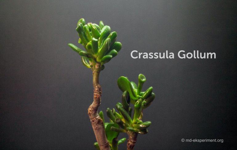 bonsai Crassula Gollum. jade plant