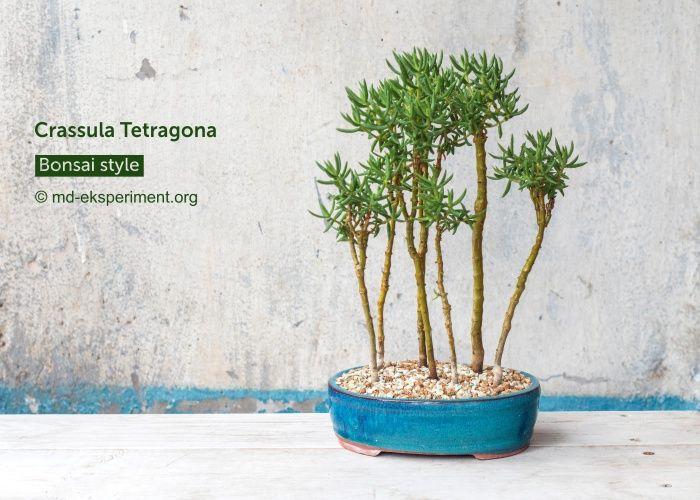 Крассула Тетаргона. Товстолист. Грошове дерево Бонсай гай. Фото