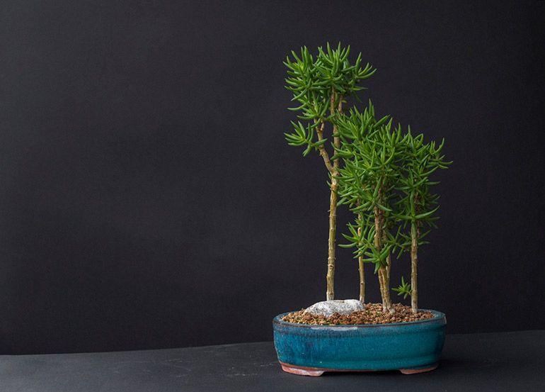 Крассула Тетаргона Товстолист Грошове дерево Бонсай гай Фото