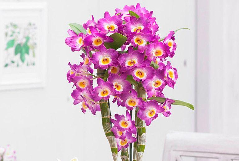 Орхидея Дендробиум (Dendrobium)