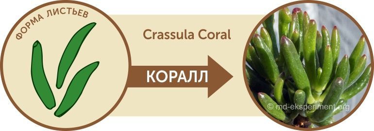 Денежное дерево Крассула Коралл Crassula Coral Форма листьев Как отличить от Хоббита