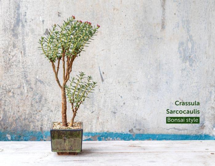 Грошове дерево Crassula Sarcocaulis. Фото Грошове дерево бонсай