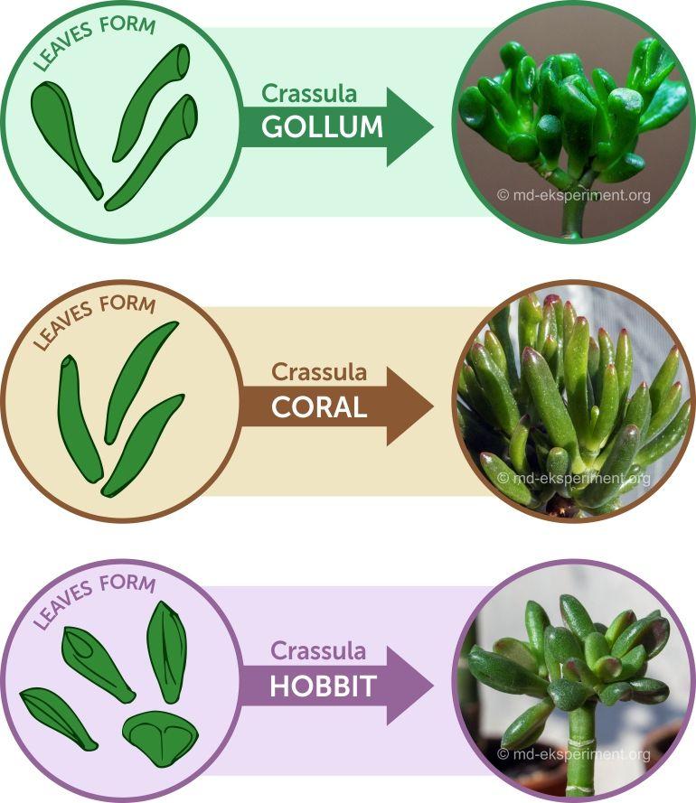 How can we distinguish the popular sorts of Crassules Jade Tree: Crassula Hobbit, Crassula Coral, Crassula Gollum by the shape of the leaves