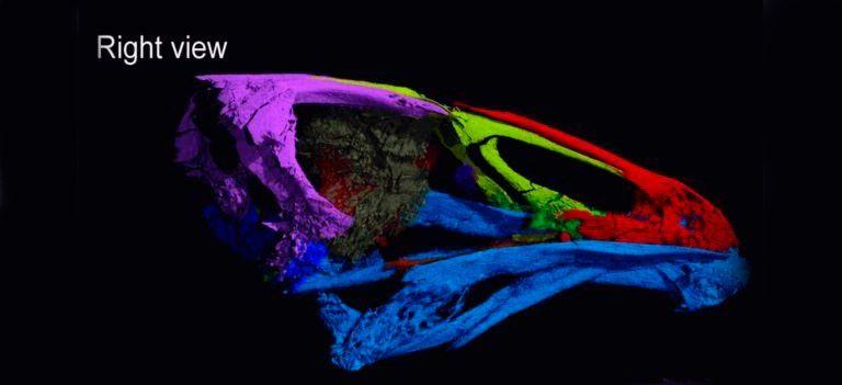 Asteriornis maastrichtensis. Найдены останки Чудо птицы