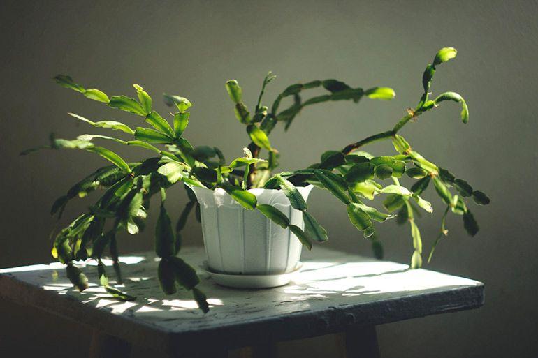 Рождественский кактус Zygokaktus и пасхальный кактус Rhipsalidopsis gaertneri