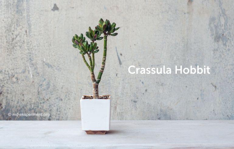 Денежное дерево толстянка Крассула Хоббит Crassula Hobbit Бонсай фото